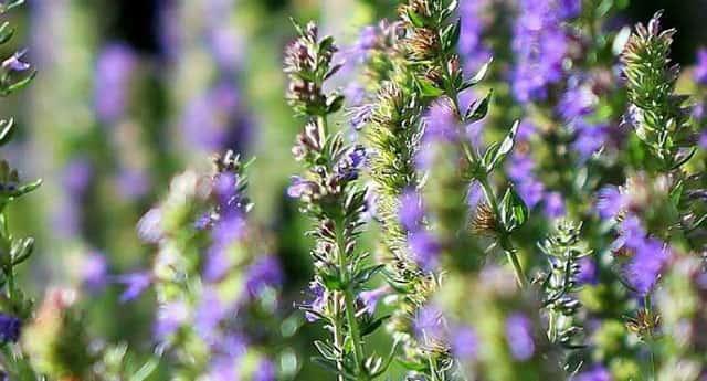 Трава иссоп лечебные свойства