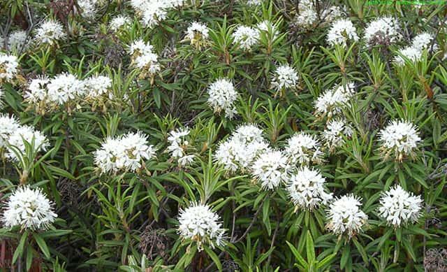 Багульник болотный - лечебные свойства и противопоказания к применению