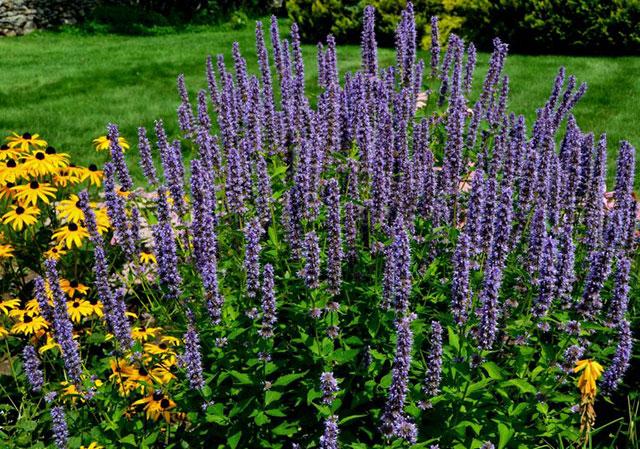 Трава иссоп полезные свойства лечения астмы и кашля