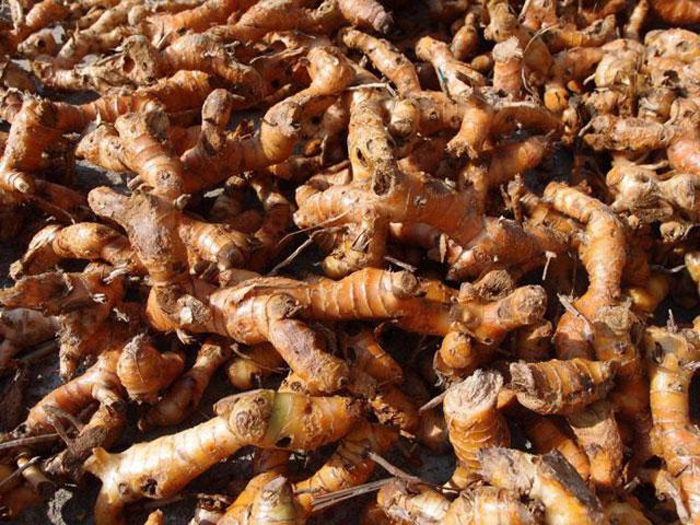Корень калгана похож на корень имбиря